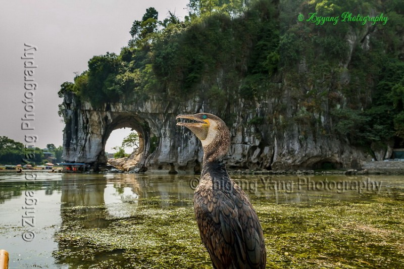 Cormorant and Elephant Hill in Guilin