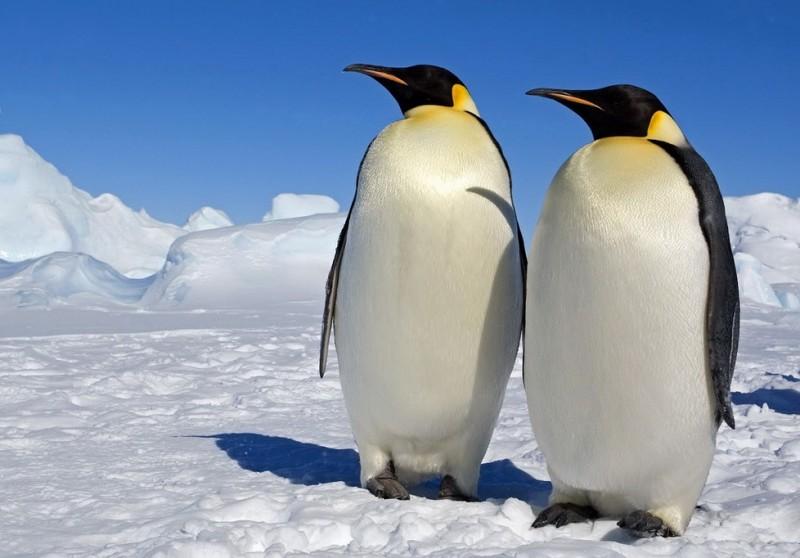 Gentalmen Penguins
