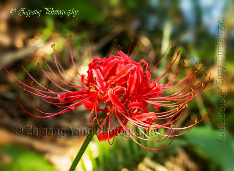 Red Spider Lilies at Crown Cave Park