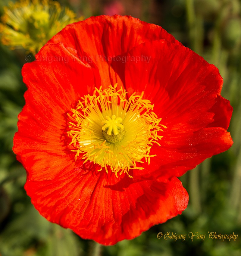 Close-up poppy flower