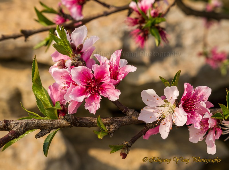 Chinese plum flower