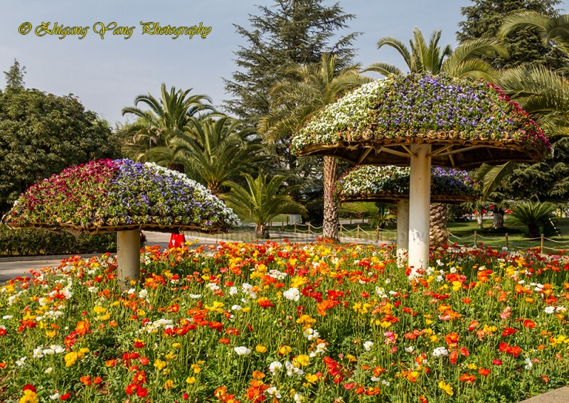 Poppy field and flower Pavilion