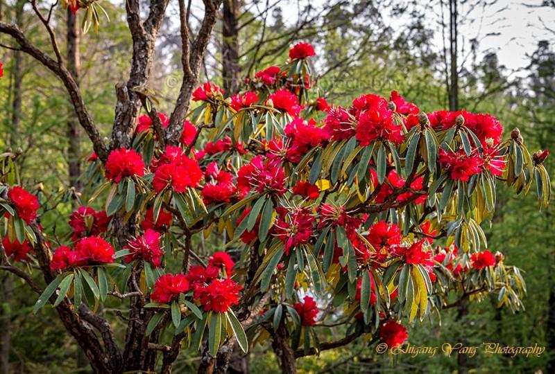Rhododendron protistum var. giganteum