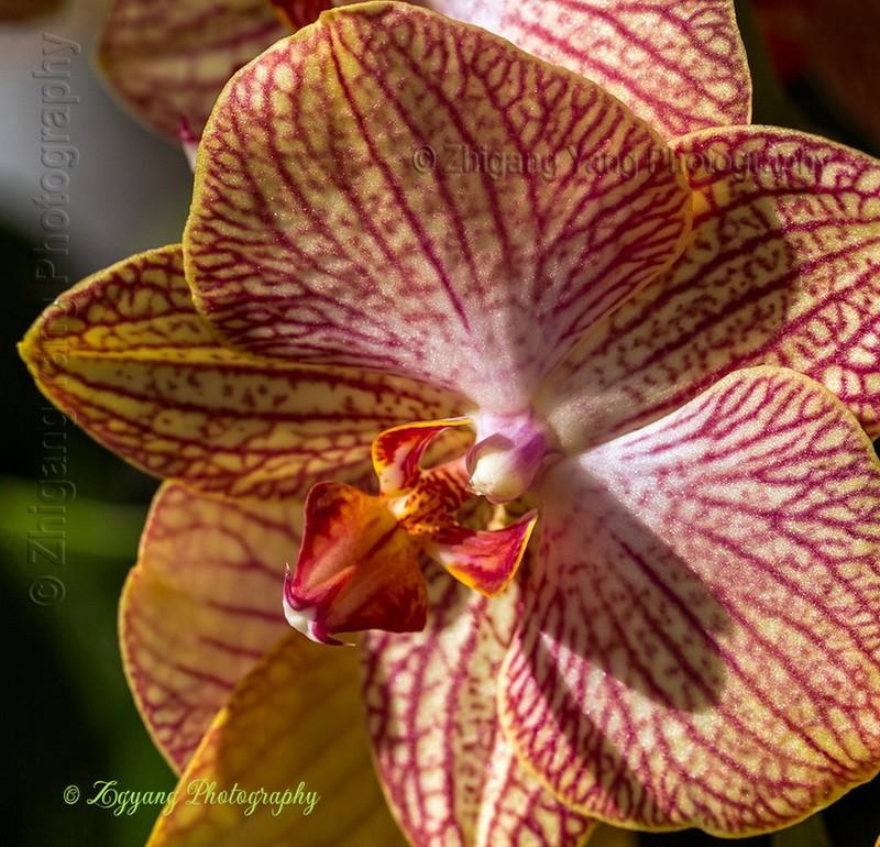 Orchid magenta yellow Keukenhof