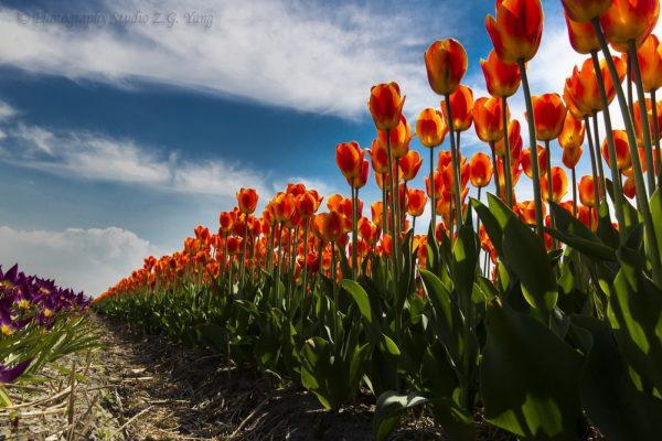 Tulip field in Noordwijkerhout