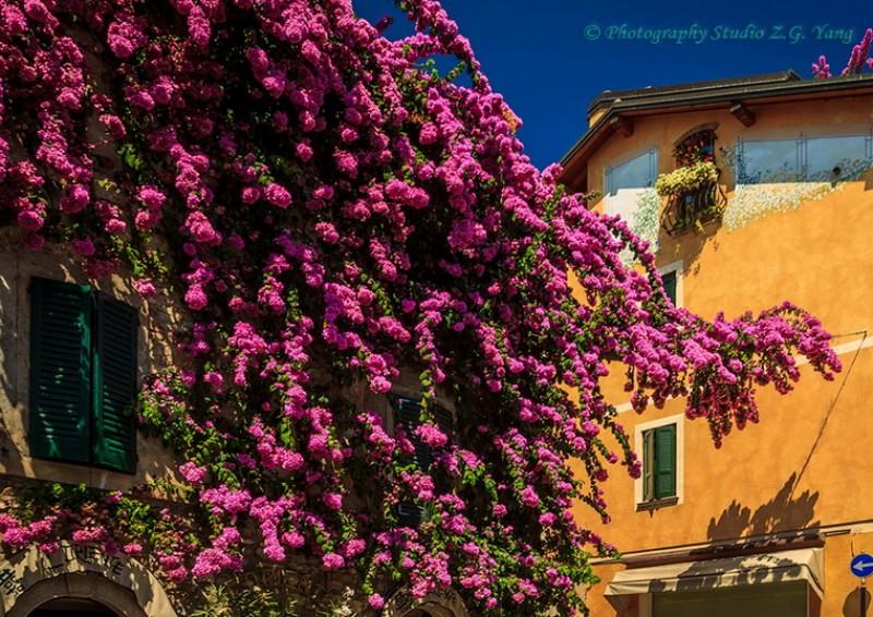Bougainvillea in Sirmione, Italy