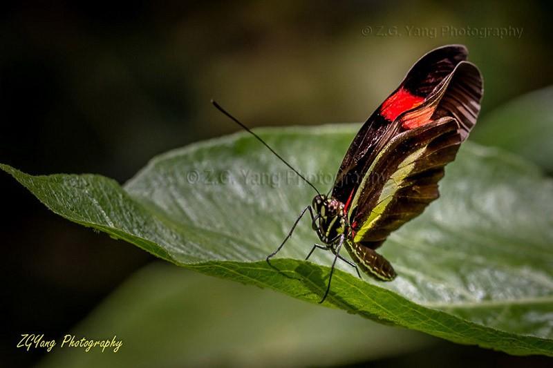 Butterfly in Passiflorahoeve