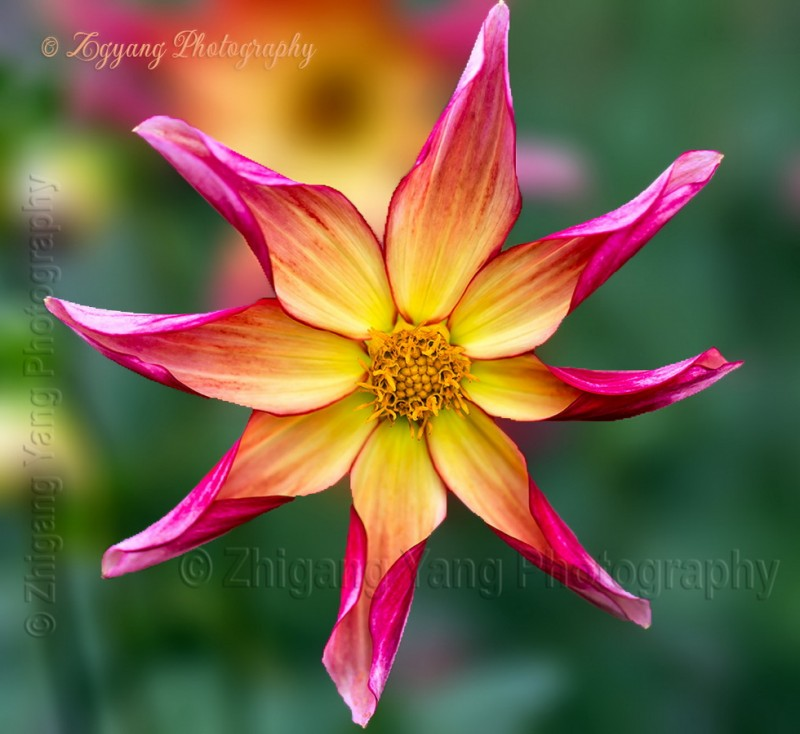 Dahlia - Honka Surprise