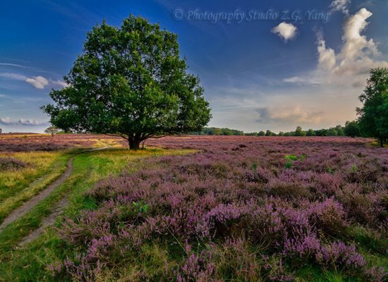 Heather field Hilversum south