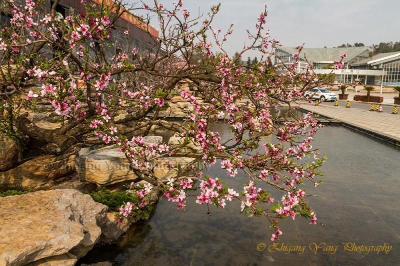 Chinese Plum flower