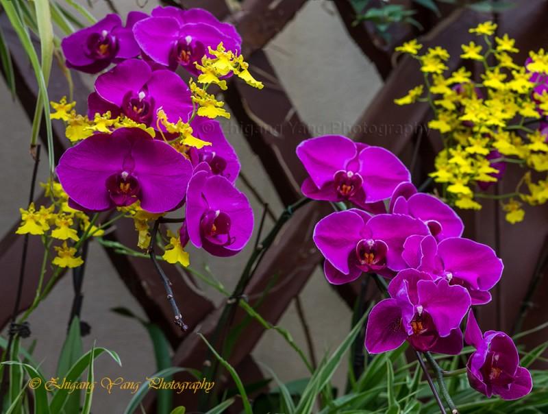 Orchidaceae