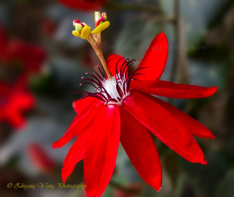Passiflora Scarlet