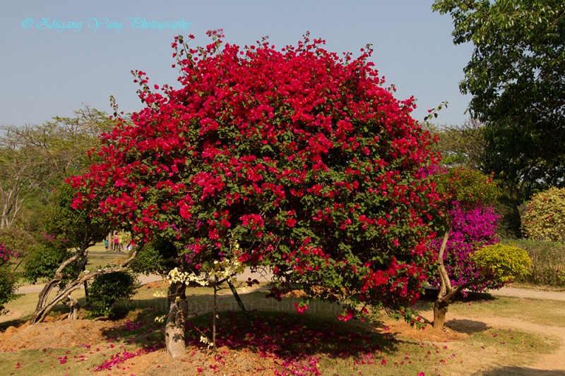 Bougainvillea glabra choisy