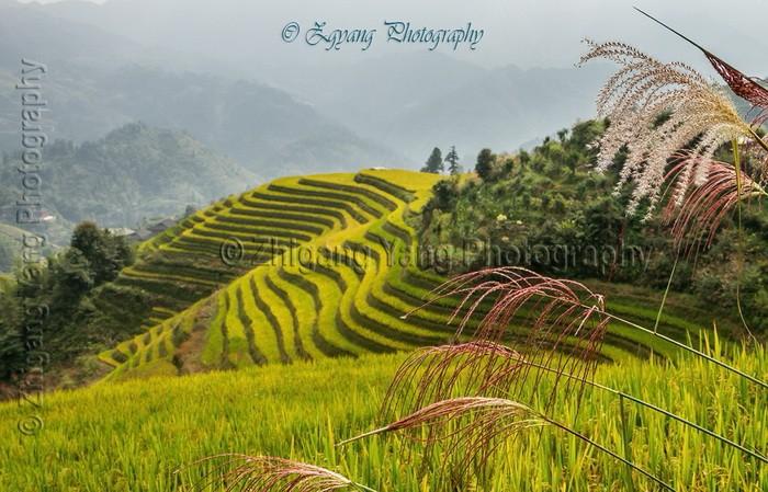 Longji Rice Terraces in summer