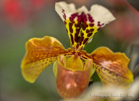 Orchid yellow brown