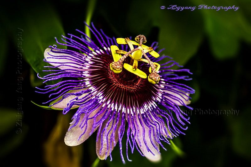 Passiflora at World Horticultural Expo 2012 in Venlo