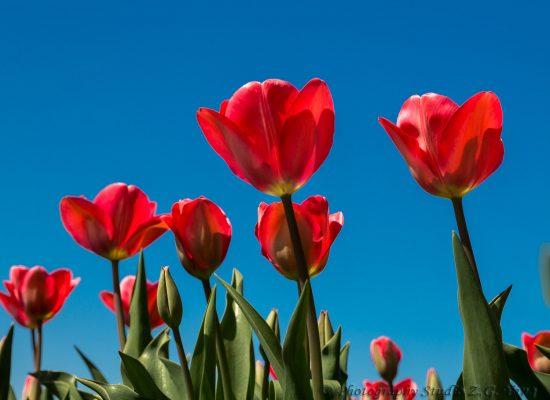 Tulip in Keukenhof, Holland
