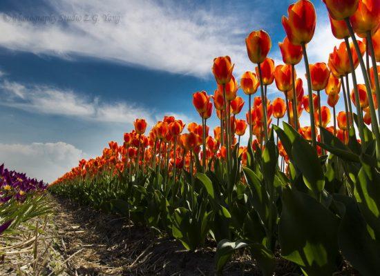 Tulip field Noordwijkerhout Holland